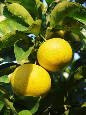 """種なしかぼす 色づいた""""ゴールド""""かぼすを大好評販売中!霜降る前に収穫を終えました!!_a0254656_16412962.jpg"""