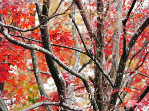 木の上のコゲラ_a0351368_23023273.jpg