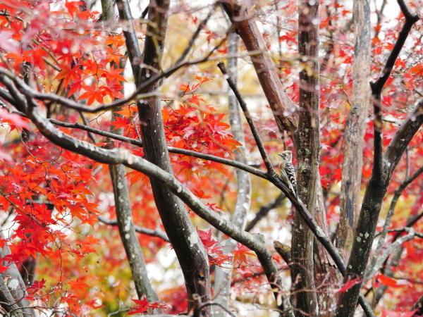 木の上のコゲラ_a0351368_23030851.jpg