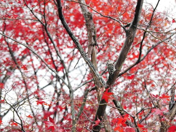 木の上のコゲラ_a0351368_23031939.jpg