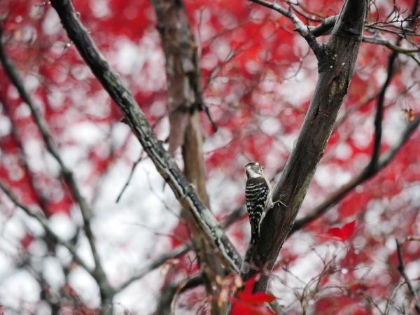 木の上のコゲラ_a0351368_23033931.jpg