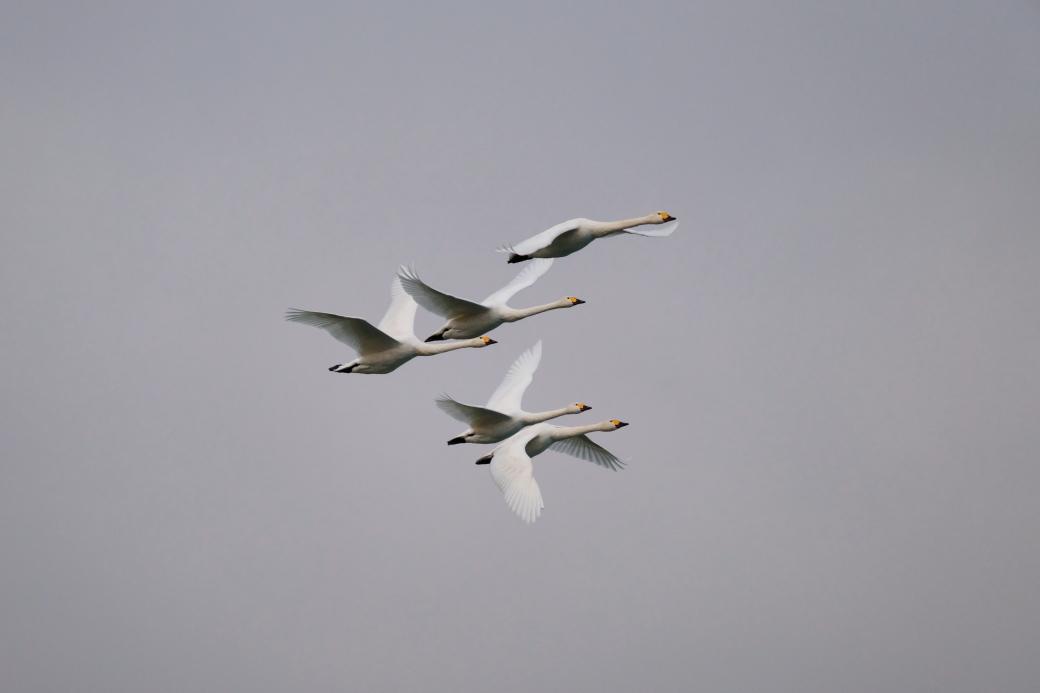 白鳥飛翔!! 猪苗代湖にて 2019・11・30_e0143883_17245355.jpg