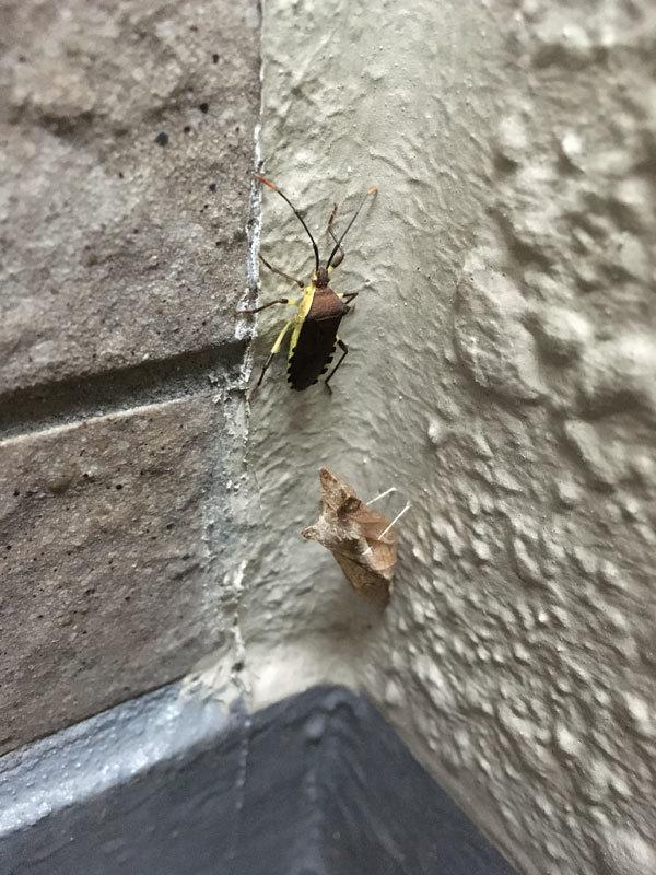 アゲハの蛹が越冬しているのですが、そこにわからない虫が…_b0025008_13552336.jpg