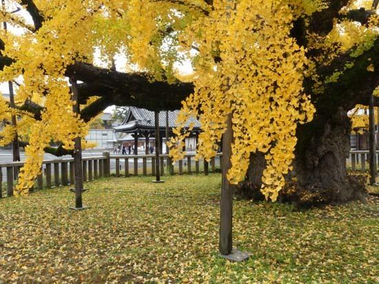 西本願寺の大イチョウ_e0048413_17150563.jpg