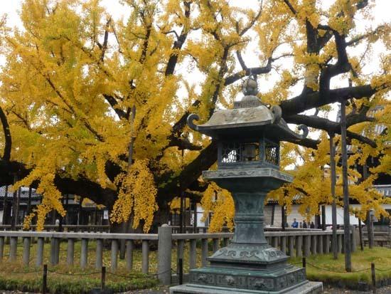 西本願寺の大イチョウ_e0048413_17151465.jpg