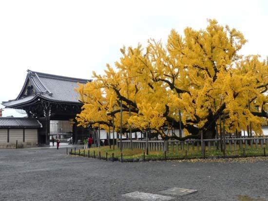 西本願寺の大イチョウ_e0048413_17172214.jpg