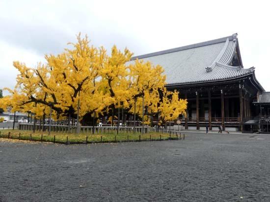 西本願寺の大イチョウ_e0048413_17172276.jpg