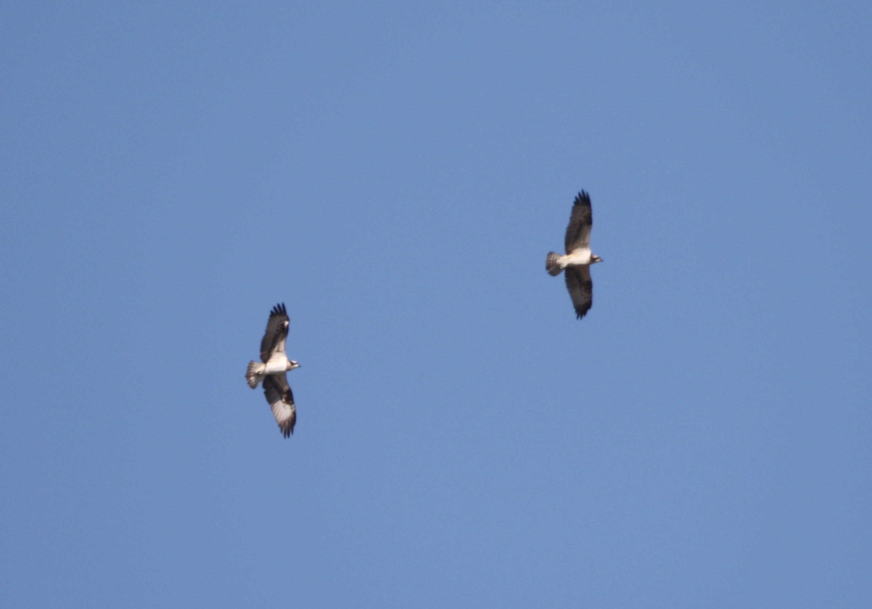 MFの沼でのミサゴ その23 (飛翔)_f0239515_1530991.jpg