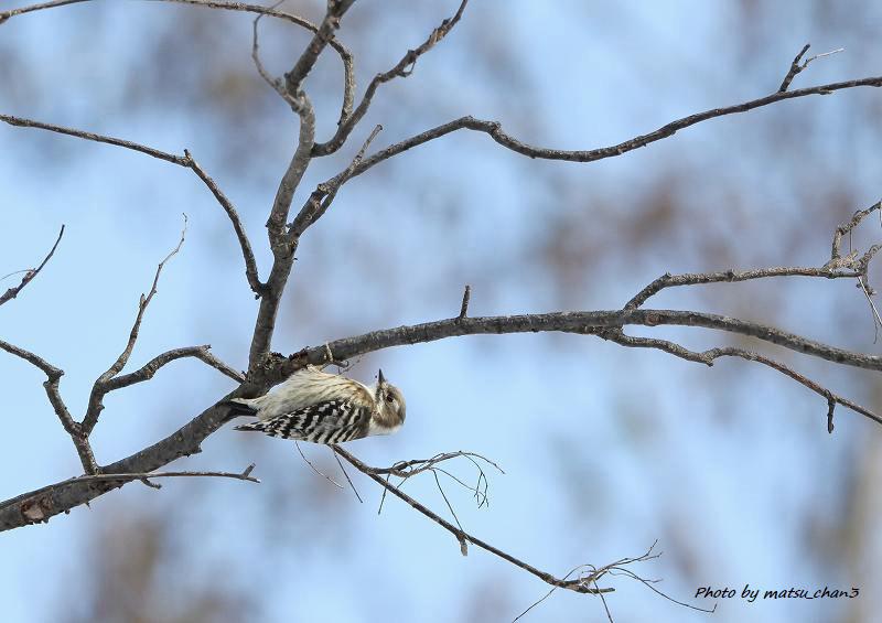 カシラダカ・コゲラ Rustic Bunting  & Japanese Pygmy Woodpecker_c0070654_09594397.jpg