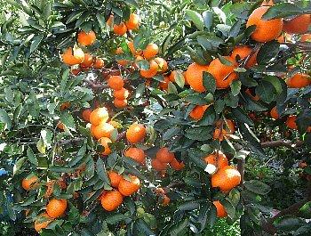 12月3日「南柑20号収穫」_f0003283_15030236.jpg