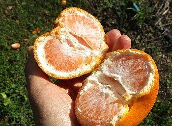 12月3日「南柑20号収穫」_f0003283_15031336.jpg