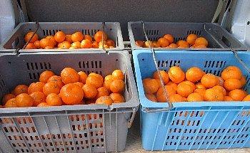 12月3日「南柑20号収穫」_f0003283_15031614.jpg