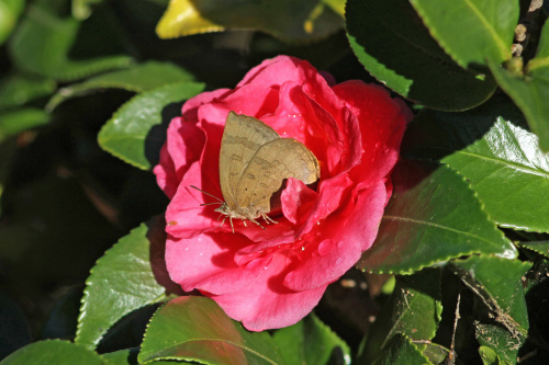 ムラサキシジミ  紅いサザンカで憩う_d0353091_16005239.jpg