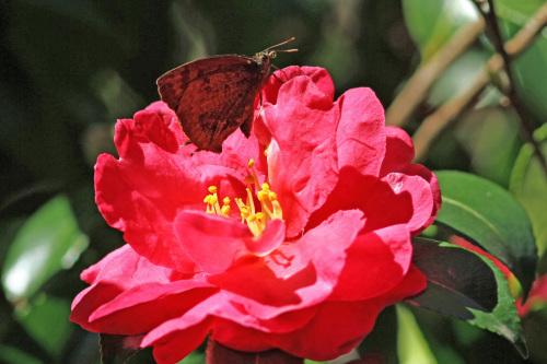ムラサキシジミ  紅いサザンカで憩う_d0353091_16034104.jpg