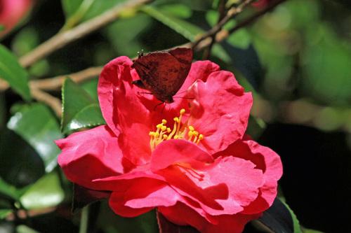 ムラサキシジミ  紅いサザンカで憩う_d0353091_16061573.jpg