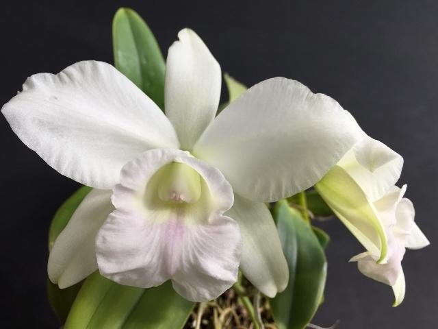 C.Mini Purple fma.albescens\'Gekko\'_d0007501_08032409.jpg