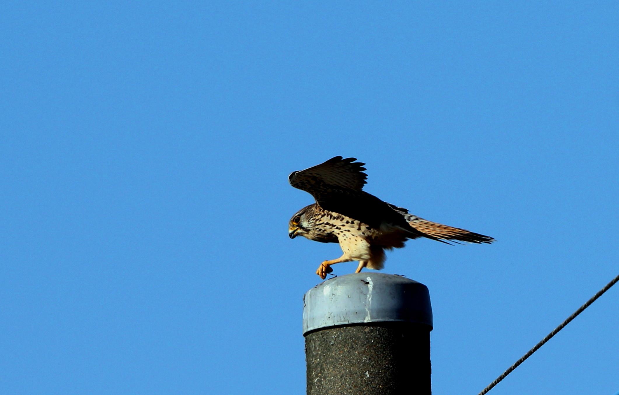 田んぼの探鳥で(チョウゲンボウ)_f0239515_16585153.jpg