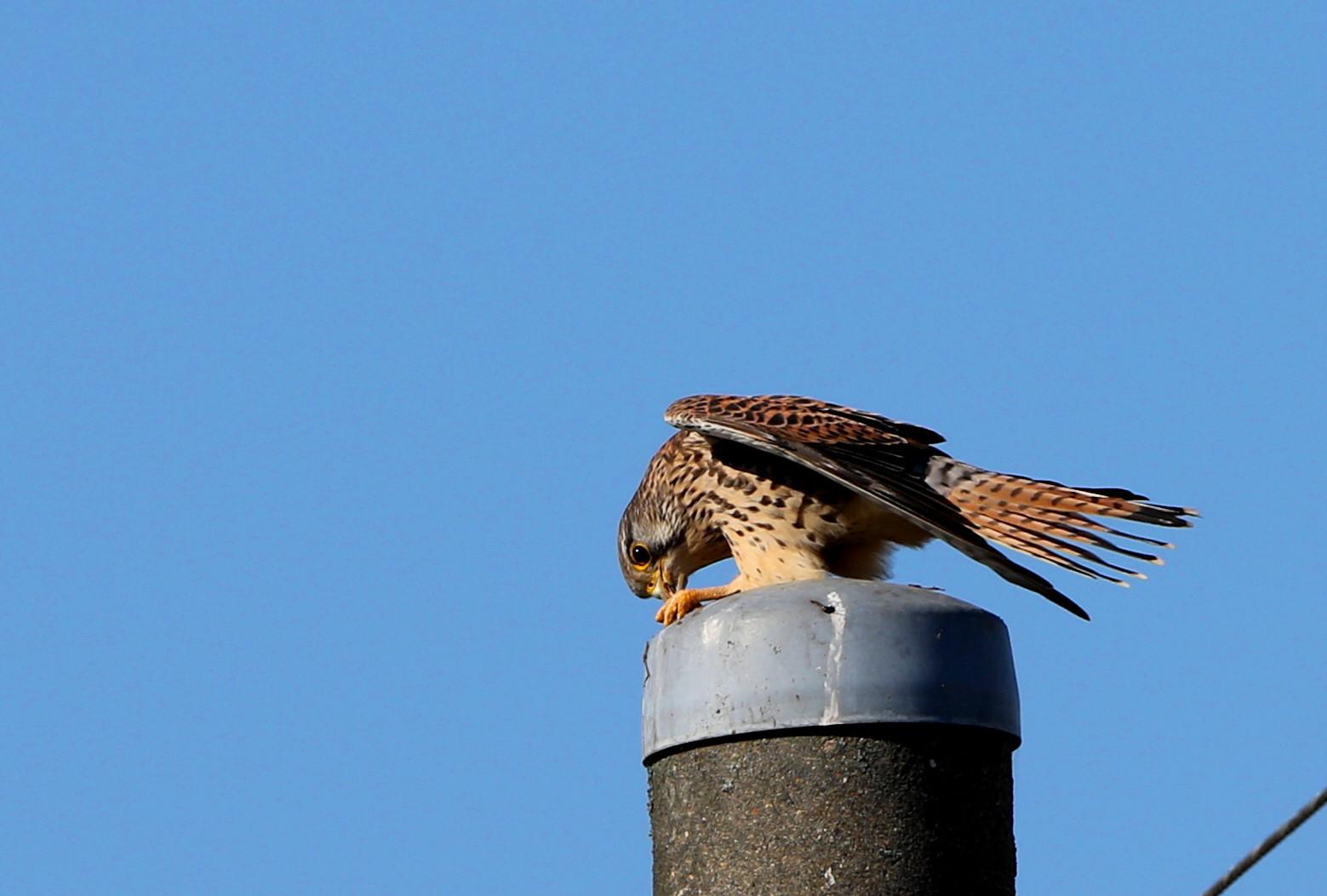 田んぼの探鳥で(チョウゲンボウ)_f0239515_16593541.jpg