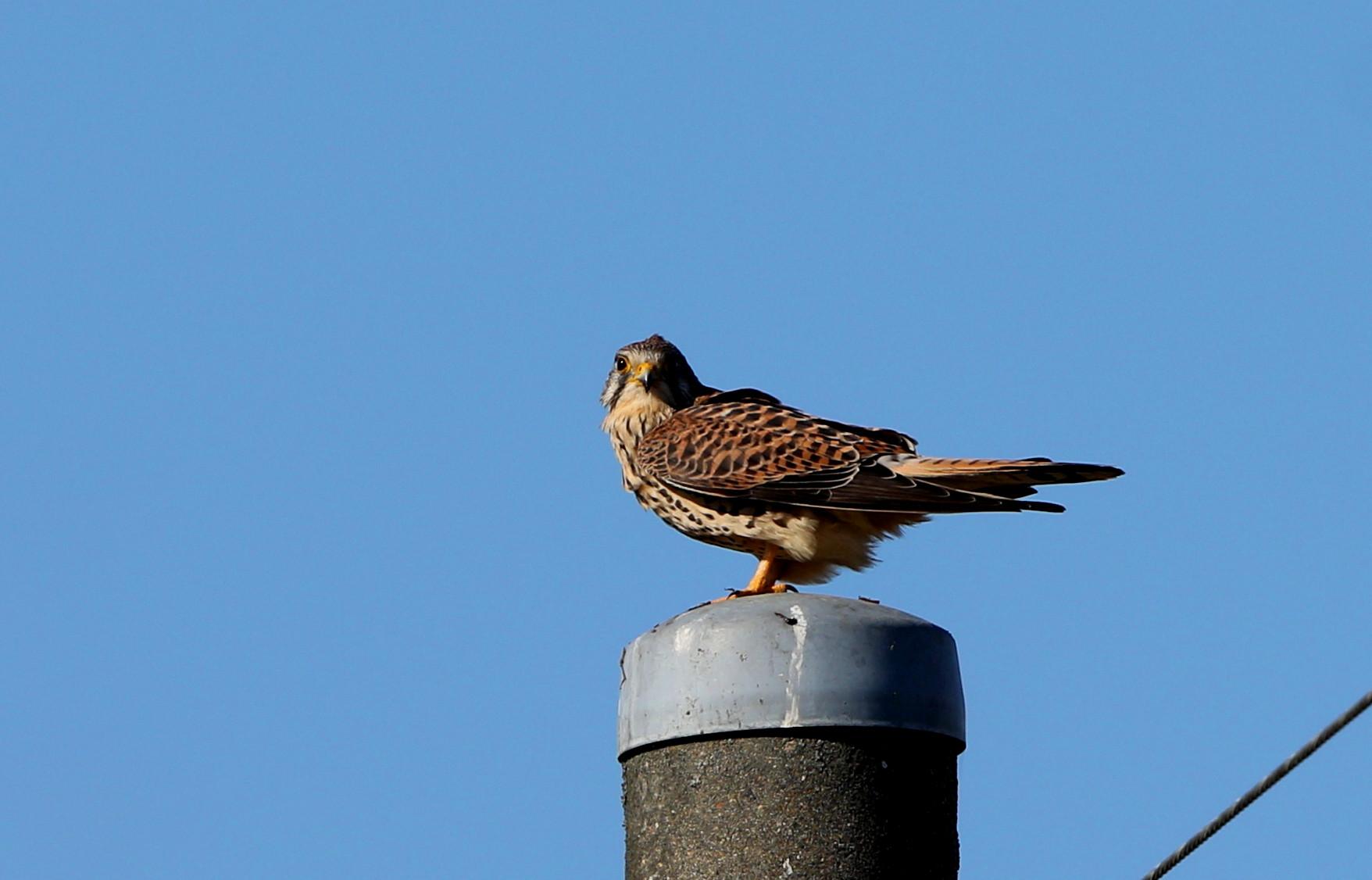 田んぼの探鳥で(チョウゲンボウ)_f0239515_16595250.jpg