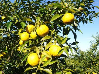 令和元年度の香り高き柚子『あっぱれ』数量限定再入荷します!『冬至用柚子』残りわずかですお急ぎ下さい!!_a0254656_17482871.jpg