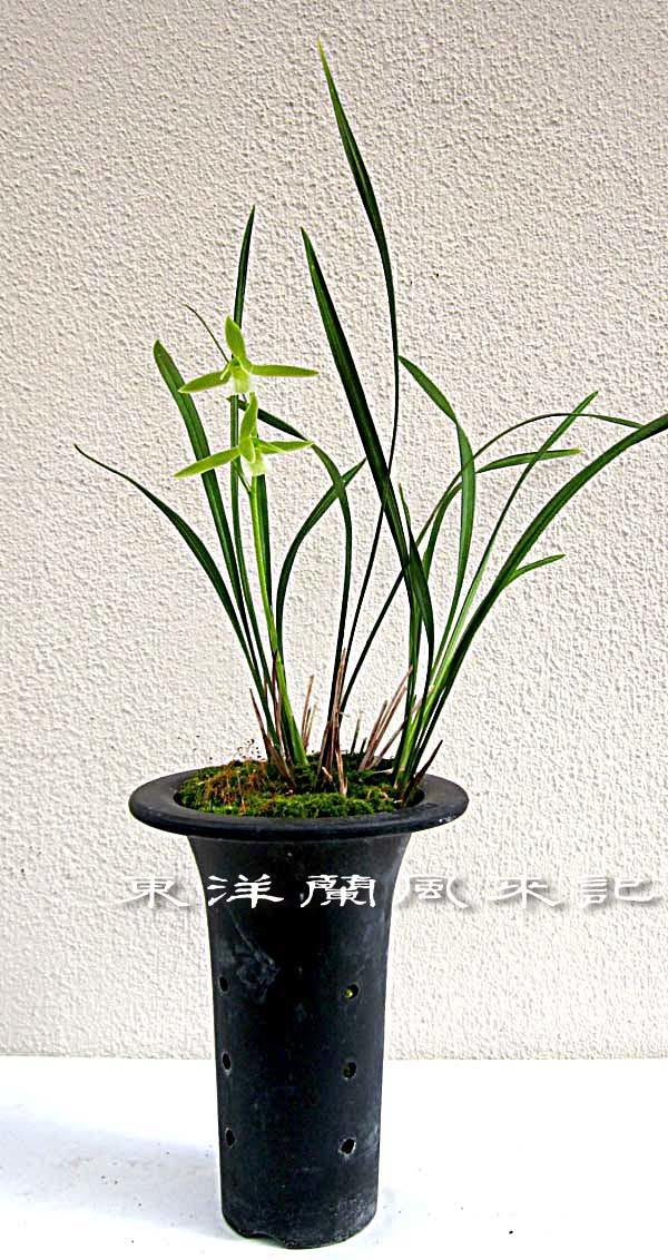 紫秀蘭チャボ系素心                      No.1994_d0103457_21350451.jpg