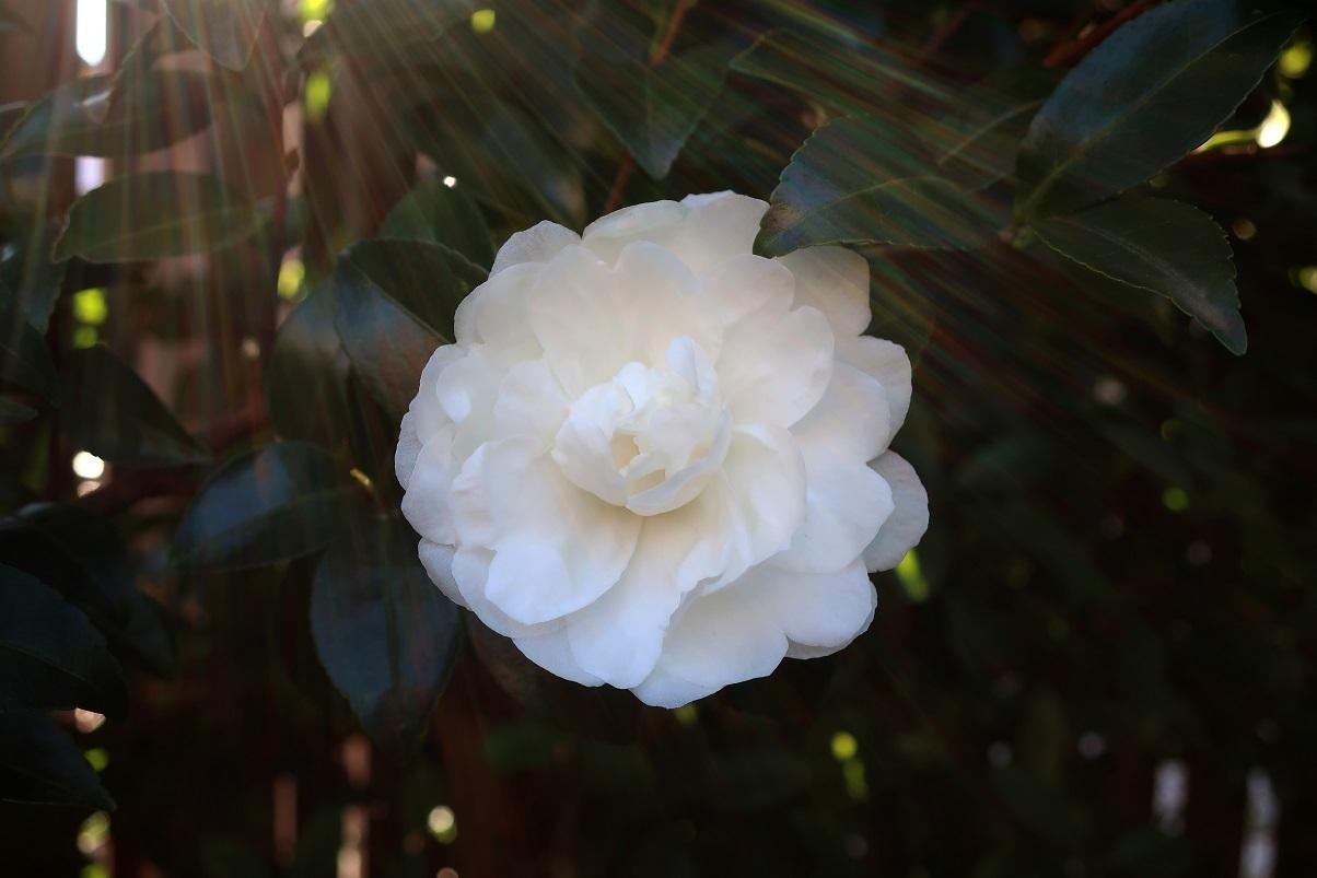 純白な八重の山茶花_a0107574_10225989.jpg
