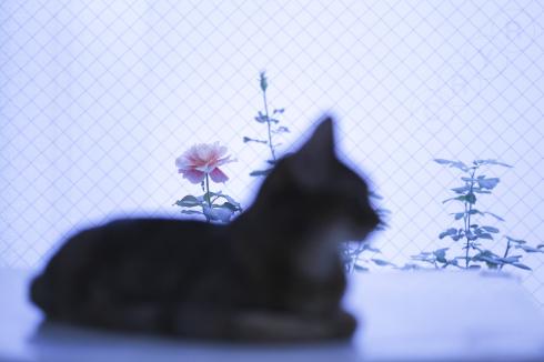 [猫的]薔薇猫_e0090124_23065398.jpg