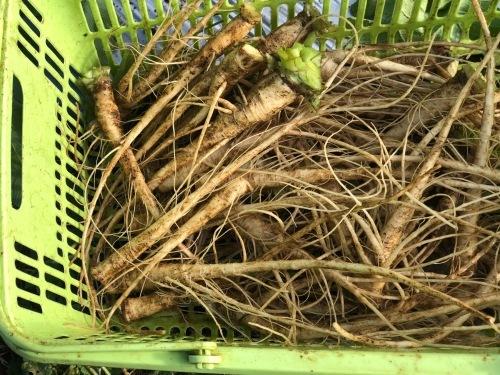 逸脱種 浜大根の鎌倉大根・・今年初めて種を頂き作付ました_c0222448_21042303.jpg