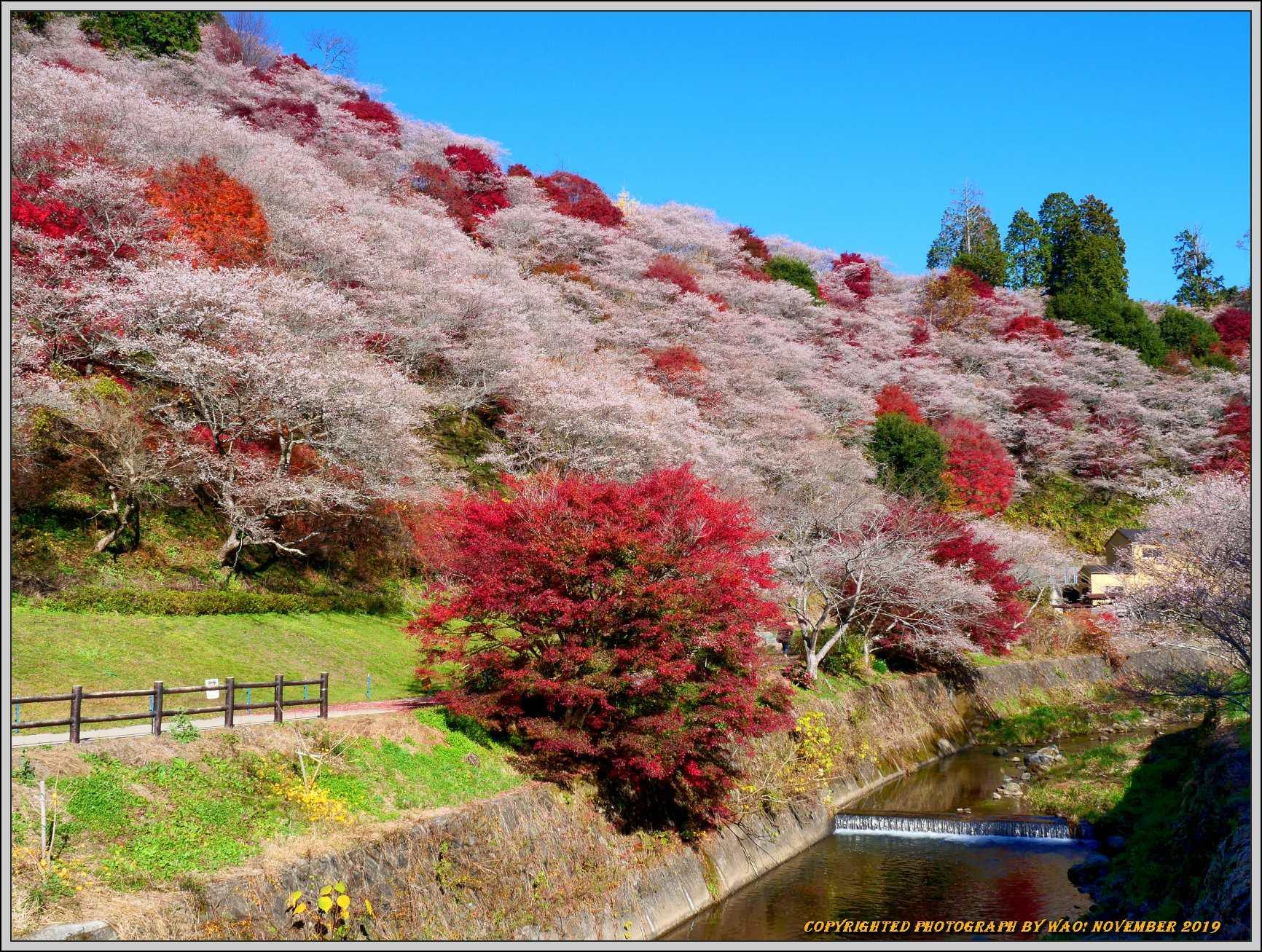 四季桜とモミジのコラボレーション-1_c0198669_15460123.jpg
