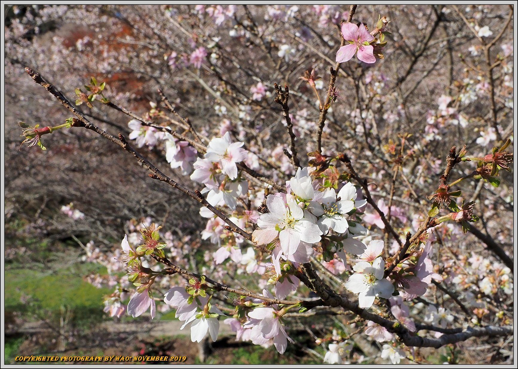 四季桜とモミジのコラボレーション-1_c0198669_15462655.jpg