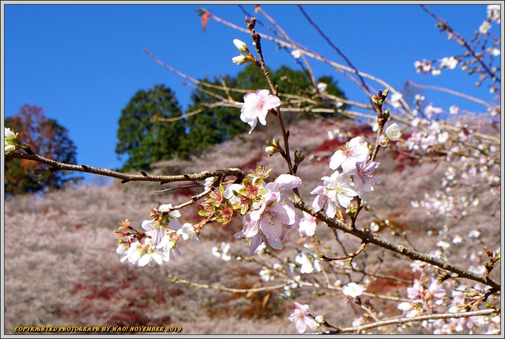 四季桜とモミジのコラボレーション-1_c0198669_15463808.jpg