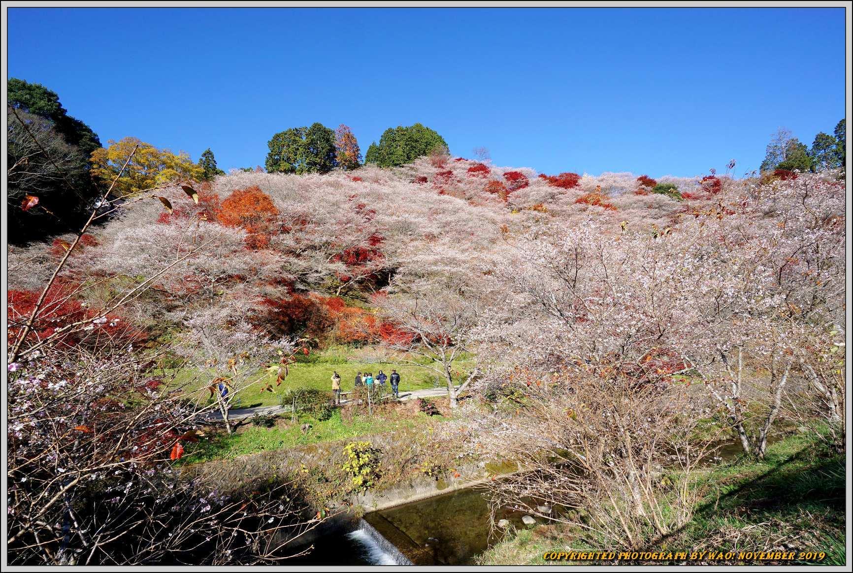 四季桜とモミジのコラボレーション-1_c0198669_15463897.jpg