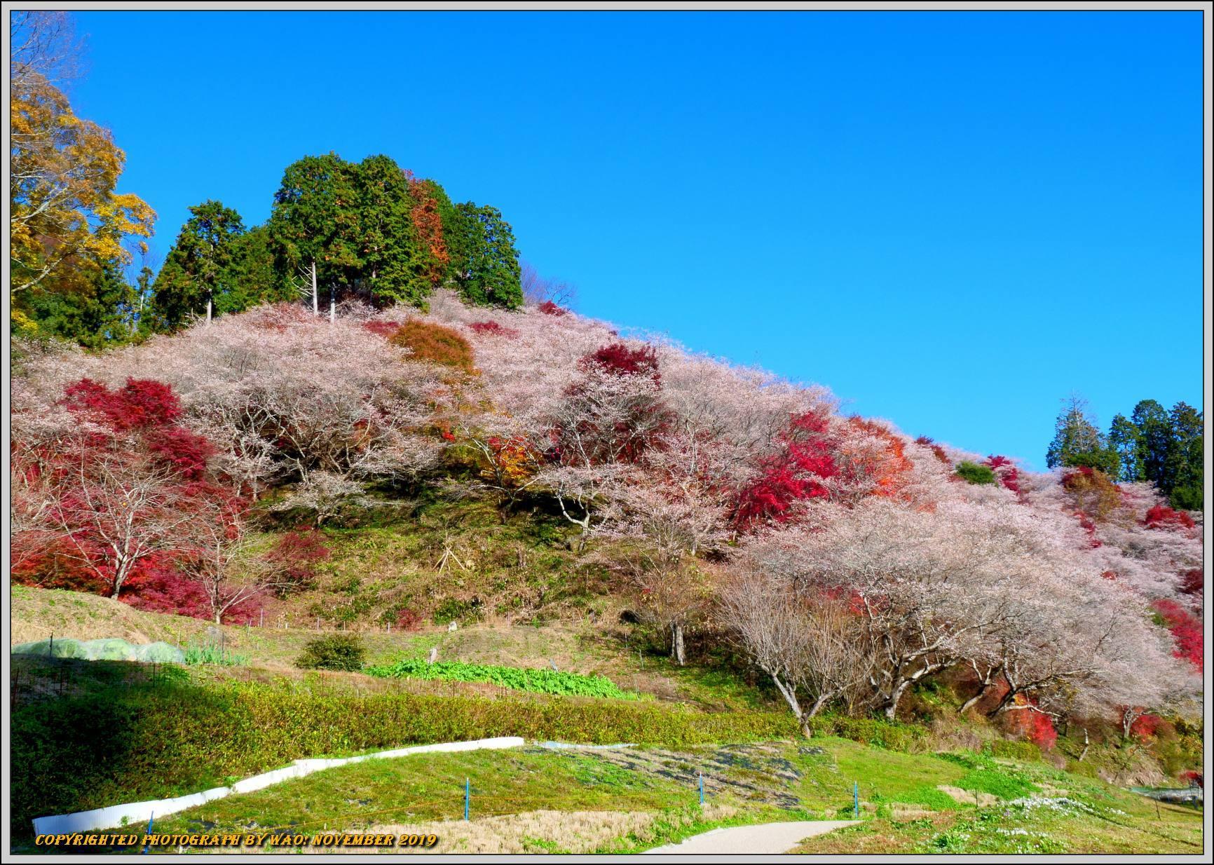 四季桜とモミジのコラボレーション-1_c0198669_15504334.jpg