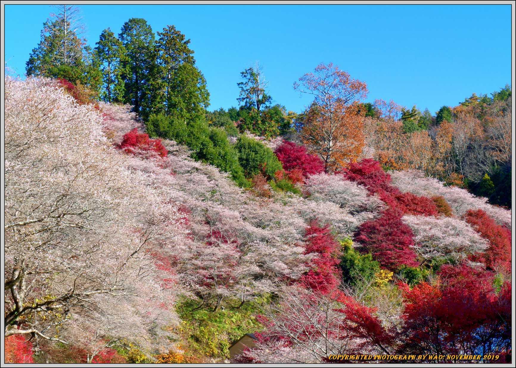 四季桜とモミジのコラボレーション-1_c0198669_15505346.jpg