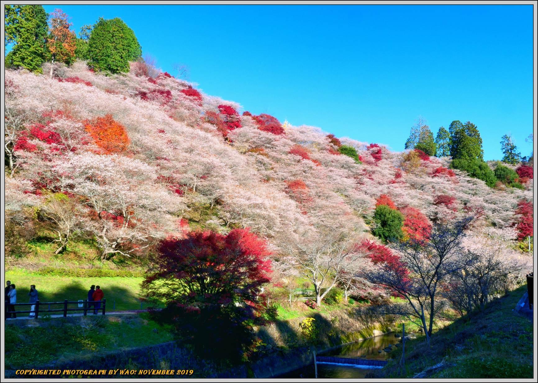 四季桜とモミジのコラボレーション-1_c0198669_15533244.jpg