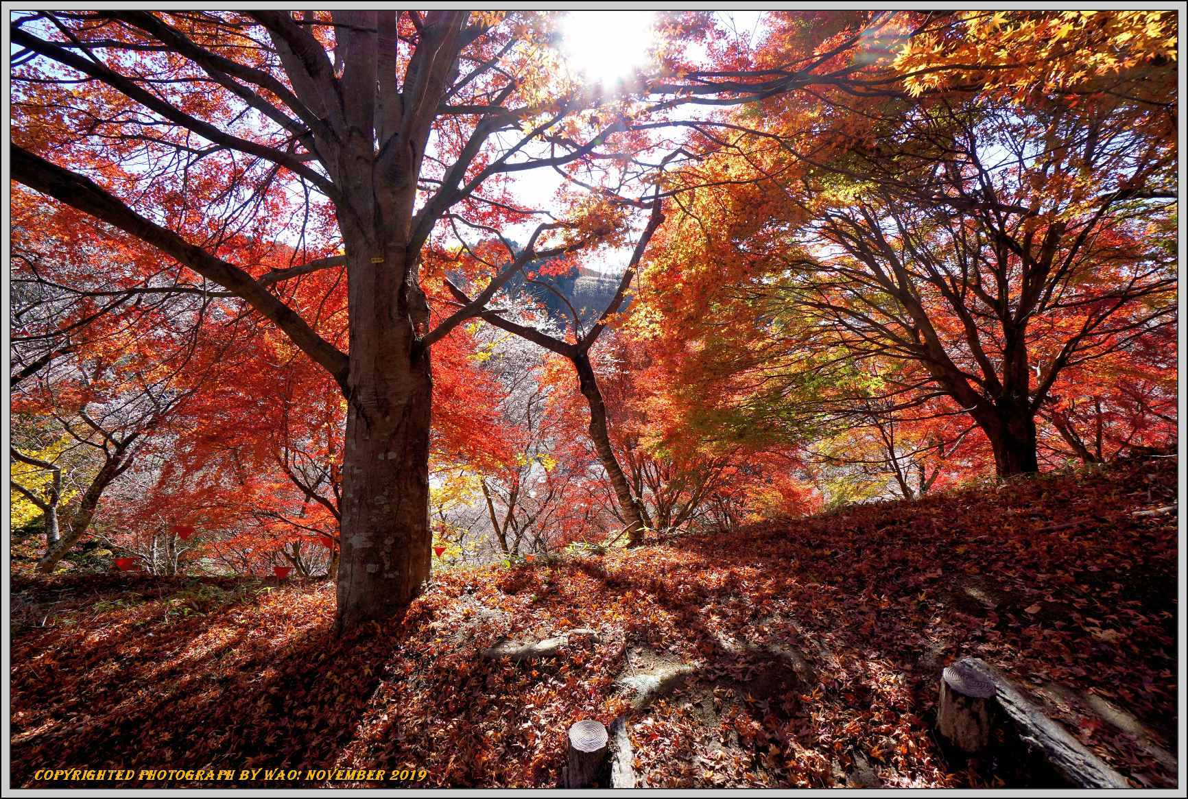 四季桜とモミジのコラボレーション-1_c0198669_15535037.jpg