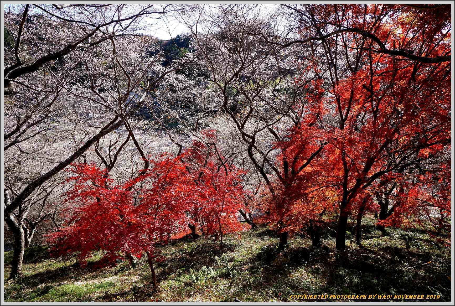 四季桜とモミジのコラボレーション-1_c0198669_15540066.jpg
