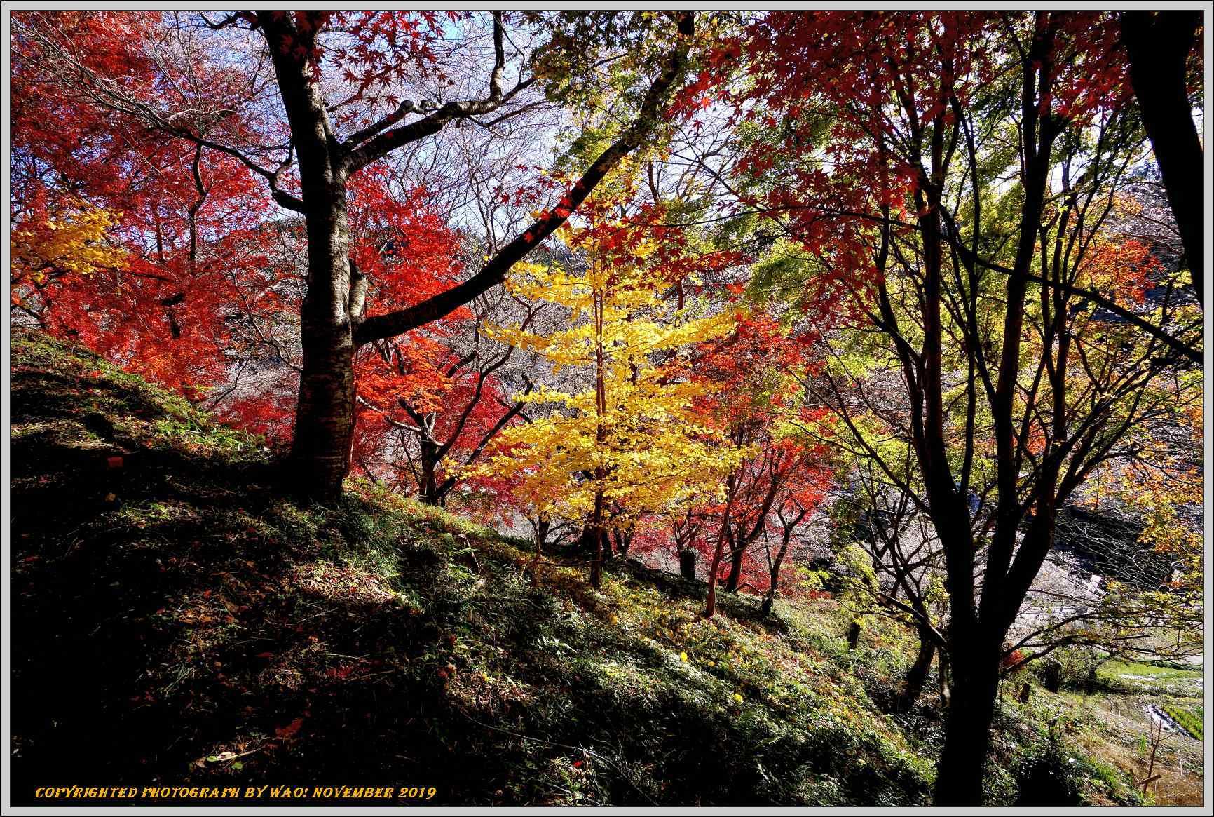 四季桜とモミジのコラボレーション-1_c0198669_15540718.jpg