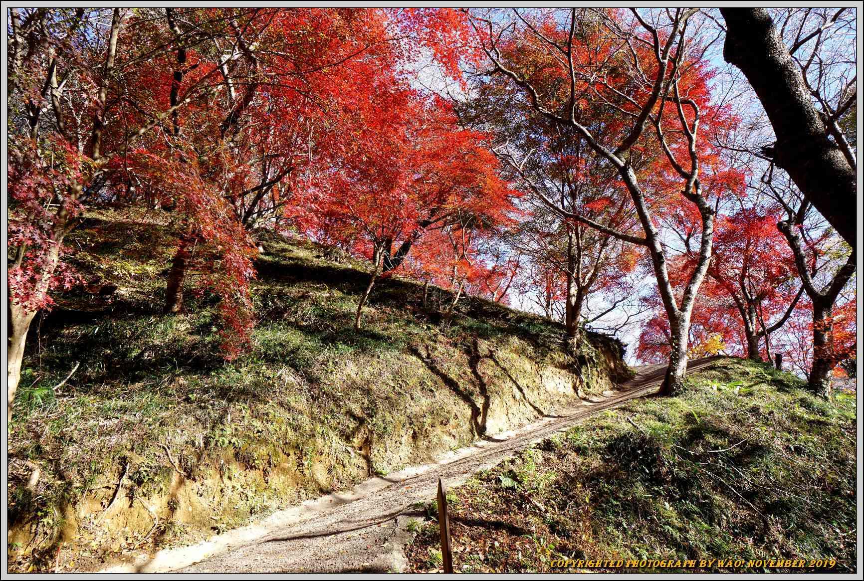 四季桜とモミジのコラボレーション-1_c0198669_15541002.jpg