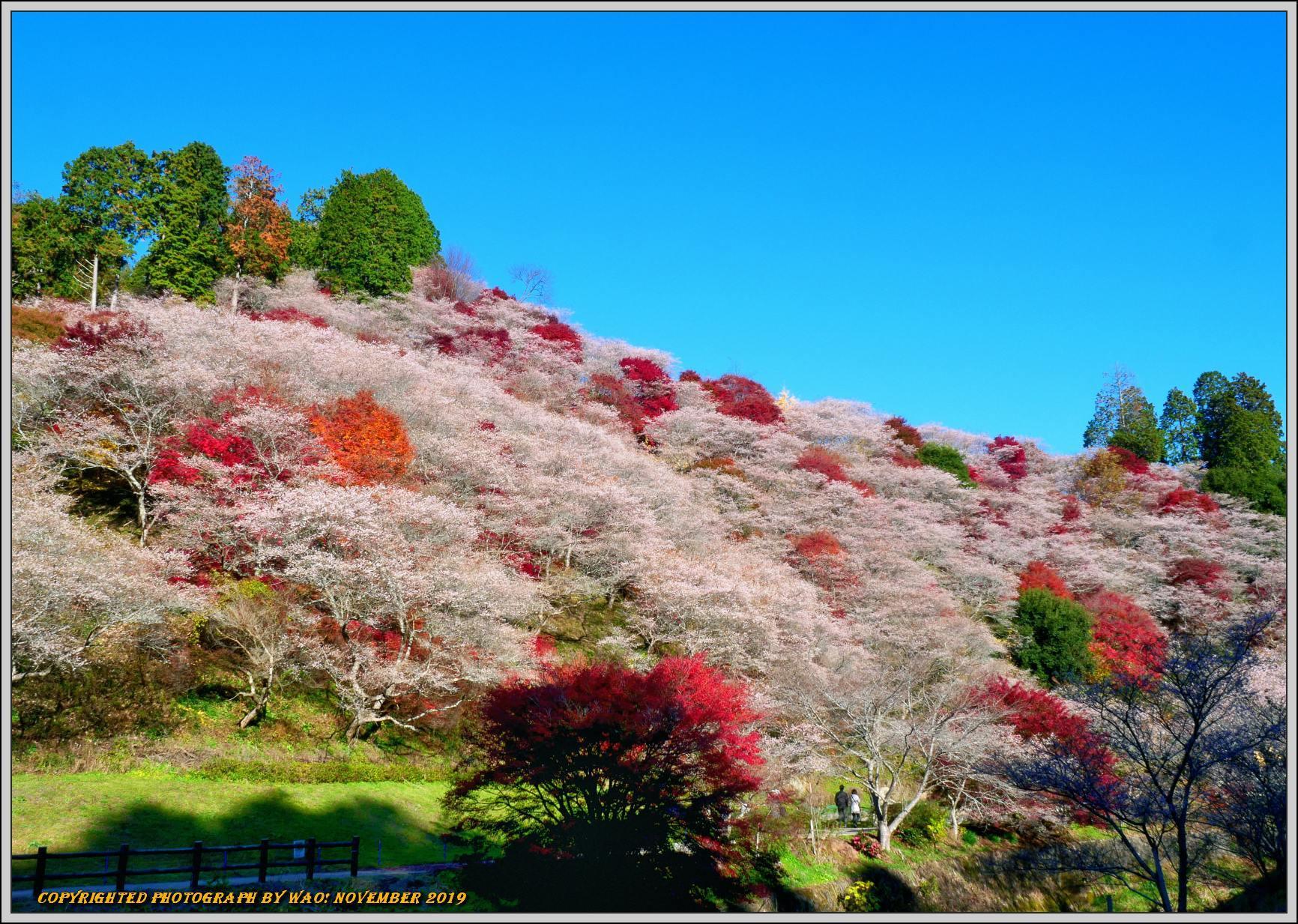 四季桜とモミジのコラボレーション-1_c0198669_15543520.jpg