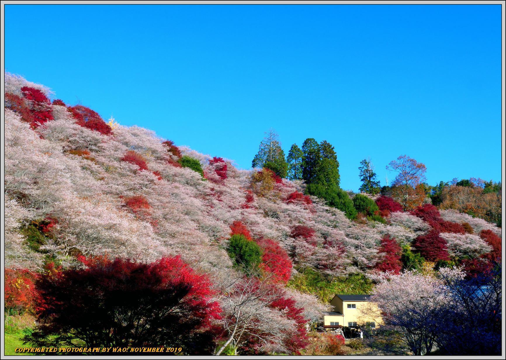 四季桜とモミジのコラボレーション-1_c0198669_15544750.jpg