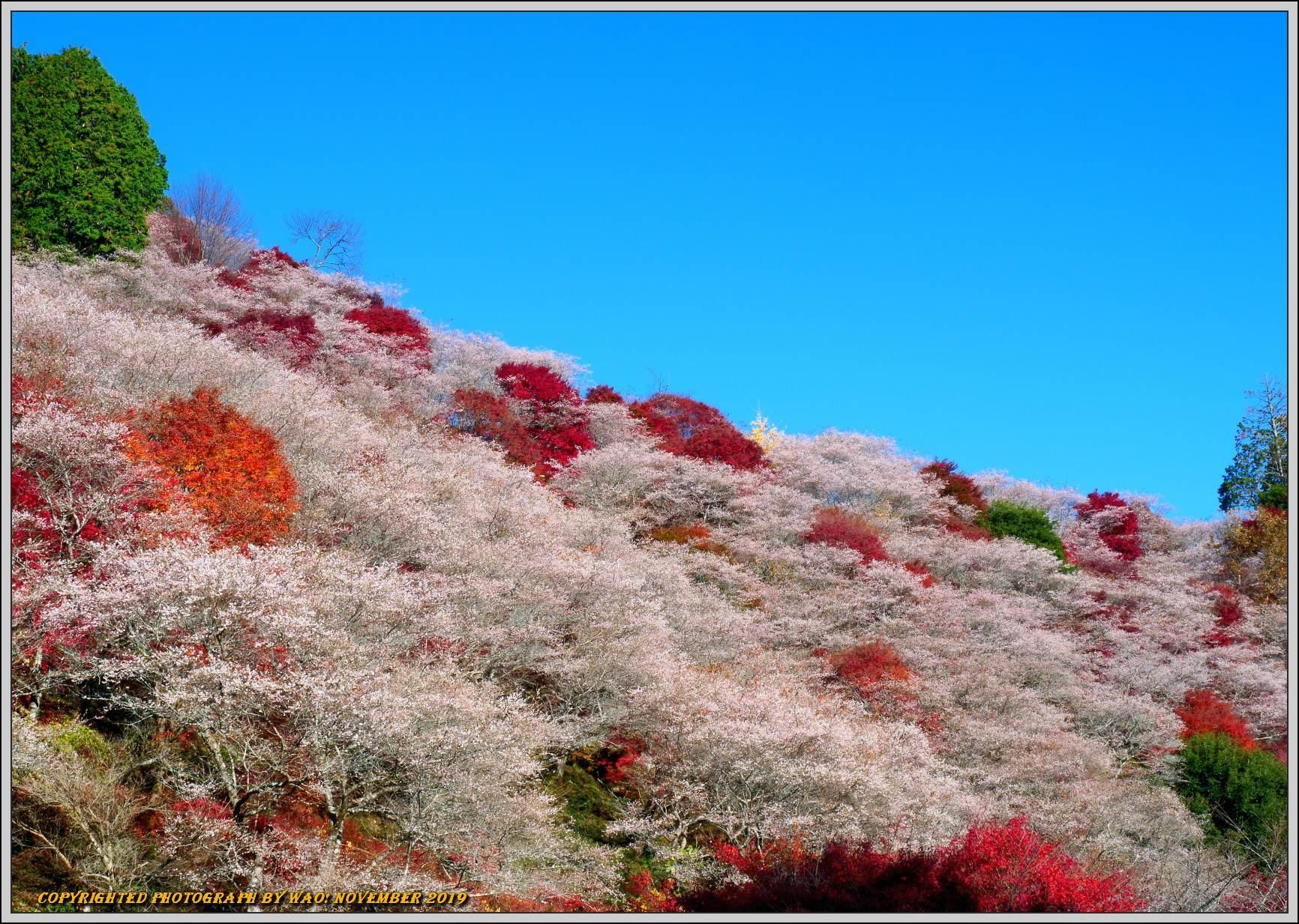 四季桜とモミジのコラボレーション-1_c0198669_15545203.jpg