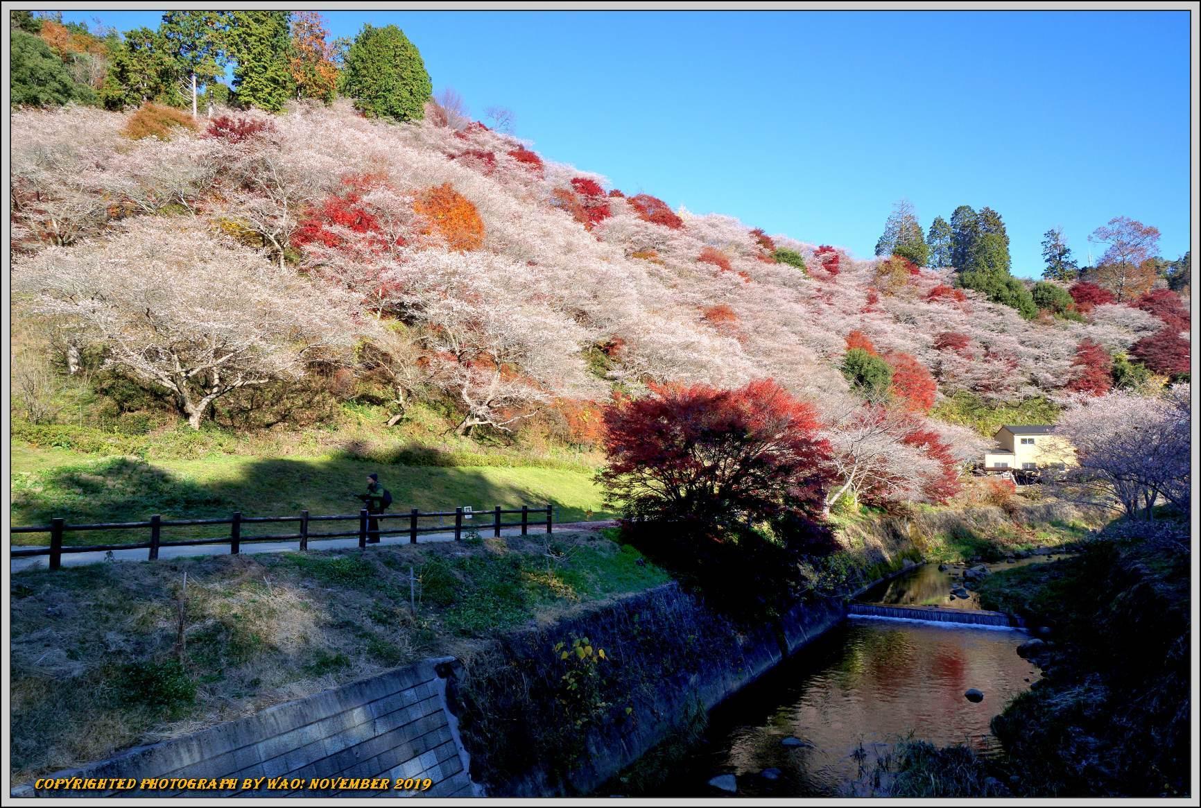 四季桜とモミジのコラボレーション-1_c0198669_15550210.jpg
