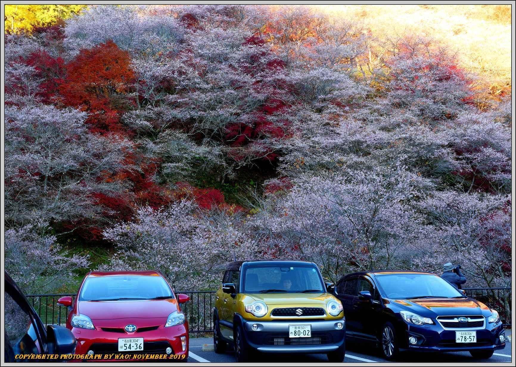四季桜とモミジのコラボレーション-1_c0198669_15553670.jpg
