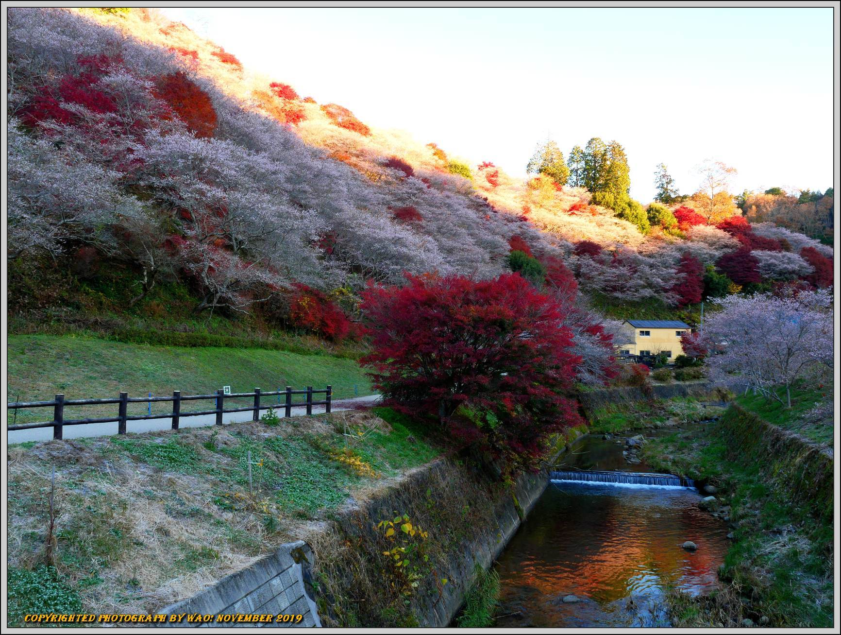 四季桜とモミジのコラボレーション-1_c0198669_15553756.jpg