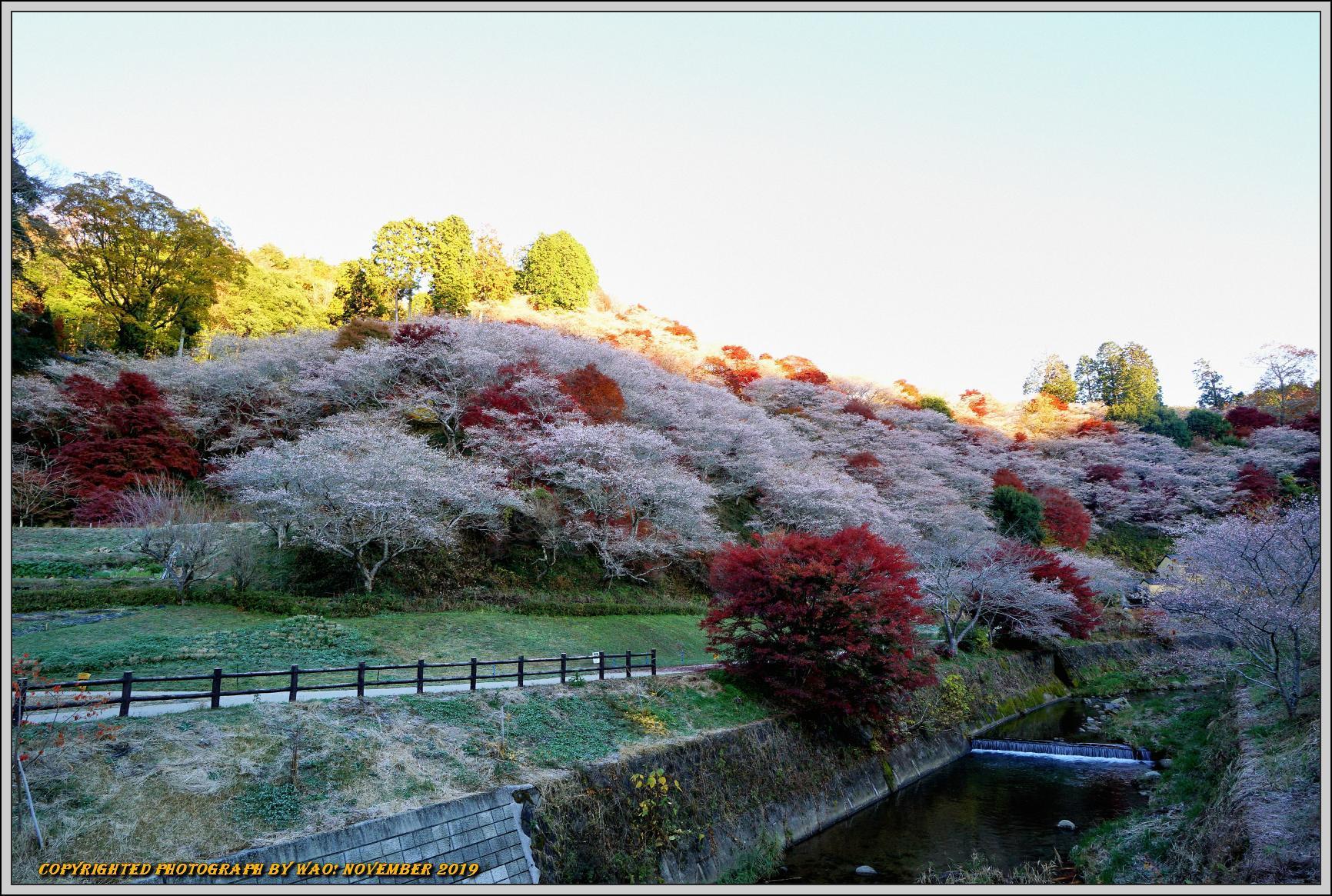 四季桜とモミジのコラボレーション-1_c0198669_15555769.jpg