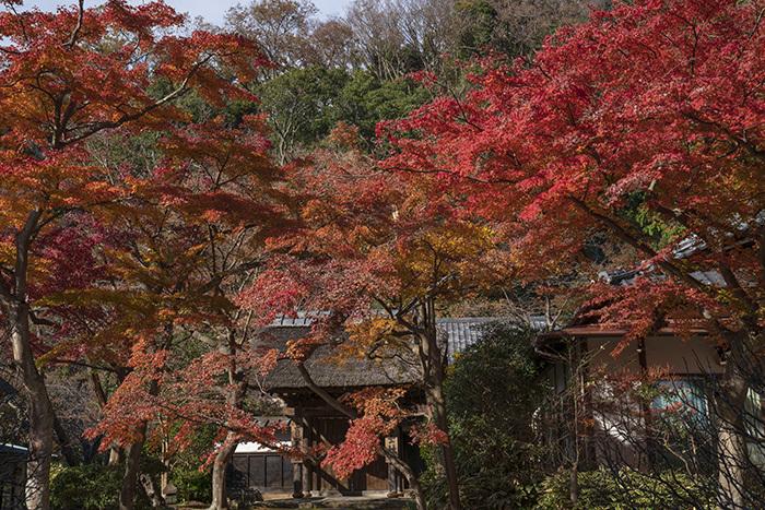 北鎌倉・円覚寺の紅葉が見頃です_b0145398_22470654.jpg