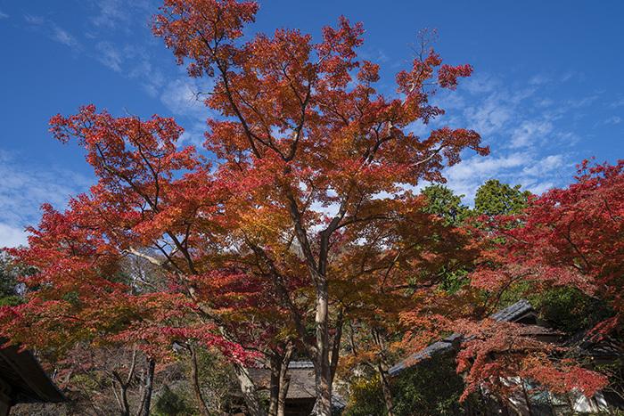 北鎌倉・円覚寺の紅葉が見頃です_b0145398_22473819.jpg