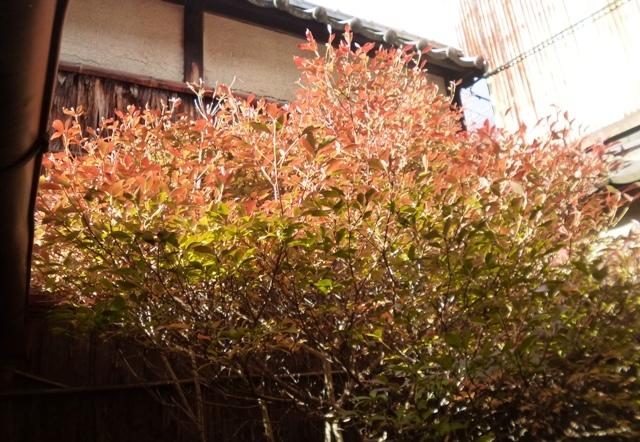 坪庭の紅葉 満天星_e0230141_21110421.jpg