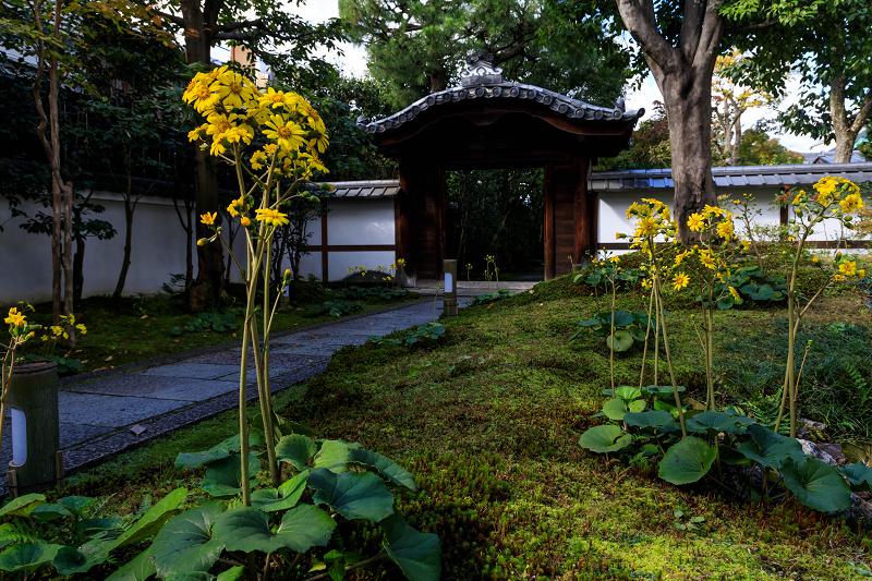 石蕗咲く庭(圓徳院)_f0155048_23193262.jpg